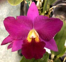 C Purple Doll x Rth Alpha Plus Nuggett, orchid plant