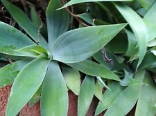 Agave Cactus plant-Drought Tolerant Evergreen Succulent Hardy
