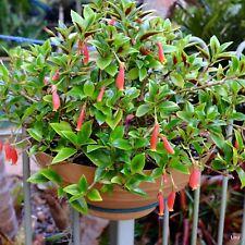 Succulent Nematanthus Gregarius ( GOLD FISH PLANT ) Indoor~Variegated~Pots