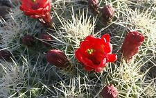 Small Red Flowering Desert Cactus Succulent Live Plant Mojave Mound 4-5 Pieces