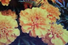 10 Semilla Tagetes patula,Flor de la maravilla,Médico de tomate#378