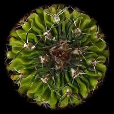 100 Echinofossulocactus erectocentrus SEMI SEEDS KORN RARE no myrtillocactus