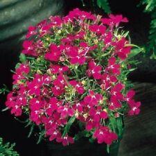 50 Multi Pelleted Seeds Lobelia Seeds Riviera Rose Flower Seeds