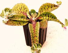 DONKEY EARS - Kalanchoe Gastonis-Bonnieri plant exotic succulents seed 50 SEEDS
