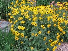 Black Eyed Susan Nice Garden Flower By Seed Kingdom BULK 26,000 Seeds