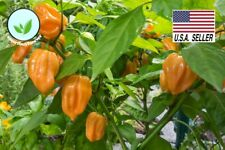 50+ seeds Habanero Orange Hot Pepper Seeds Heirloom NON-GMO Chili Vegetables USA