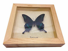 Papilio maackii Real Butterfly in wood Shadowbox Mount- natural
