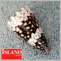 GEM! Conus vidua cuyoensis #1 45.0mm RARE BEAUTY from the Philippines