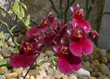 Rare orchid hybrid (seedling) - Tolumnia Popoki