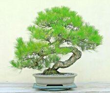 10 JAPANESE BLACK PINE SEEDS - Pinus thunbergii  ( good for bonsai )