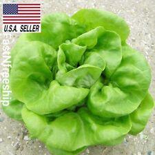 Buttercrunch Lettuce - 1000 Seeds- NON-GMO Heirloom Vegetable USA-SELLER!