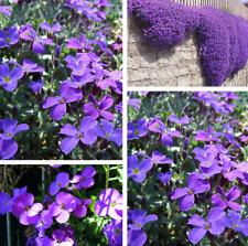 50Pcs Purple Aubrieta Deltoidea Flower Seeds Rare 2 Kind Pereninal Decor Vine