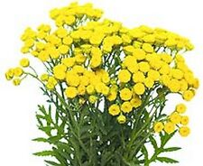 TANSY - 500 seeds (HERITAGE)