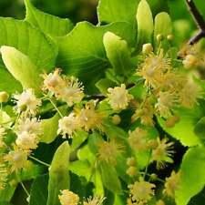 Tilia Americana Basswood 50 seeds