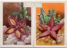 1930s Ad Trade Cards - TWO Varieties Flowering Stapelia Succulents Plants 5