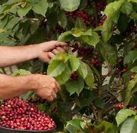 10 Seeds Coffee Bean tree Plant Seeds Tropical House Plant