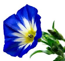 ENSIGN ROYAL DOUBLE BLUE Convolvulus Morning Glory Trailing Spreading 30 Seeds