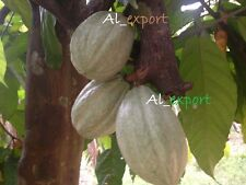 CACAO 1 POD ~ EXOTIC TROPICAL  Theobroma CACAO < BUY 3 GET 1 FREE > LIVE seeds