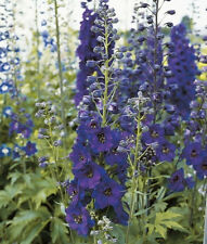 Delphinium - Larkspur Black Knight Seeds Good Large Cut or Dry Flowers