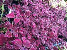 """Coleus - Meandering Linda - 2 Live Plants - 4"""" Pots"""