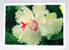 Aspen Zygocactus the world's first frilly edged zygocactus flower