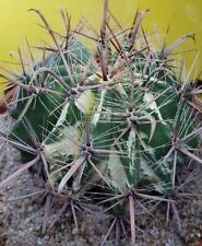 Ferocactus RARE MOTHER VARIEGATA OLD OWN ROOTS aztekium ariocarpus copiapoa