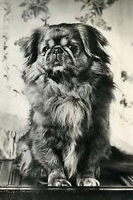 Pekingese Puppy Dog Vintage Photograph - LARGE New Blank Note Cards