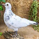 T28b Taxidermy Oddities Curiosities Standing Rock Pigeon bird collectible CL