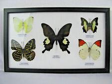 5 echte exotische Schmetterlinge im Schaukasten aus Holz Glas - Einzelstück q_31