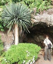 Sukkulente Yucca rostrata / Exotische winterharte immergrüne Palmen / Samen