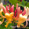 100 PCS Seeds Honeysuckle Vine Plants Naturally Grown Rare Flowers Bonsai 2019 N