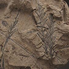 PLANT FOSSIL - Taxodium dubium - Neogene, Miocene - Doly Bilina - CZECH REPUBLIK