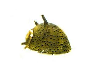 5 x Olive Horned Nerite snails, Fresh Water Snail