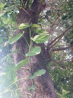 2  Golden Queen Pothos Vine Epipremnum vines. Large Leaf