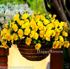 PANSY TRAILING FLOWERING YELLOW - 150 seeds - Viola williamsii pendula