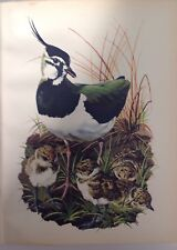 Lapwing And Chicks,  1947 Vintage Print By Tunnicliffe,  Beautiful Birds