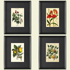 Botanical Victorian horticultural Print art sketches Collection of 4 Vintage
