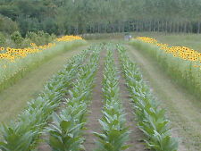 5000+Tobacco seeds Virginia Bright Leaf MILD SMOKE RYO*