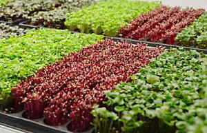 MICROGREENS KIT FOUR Varieties Seeds - Vegetables Herb.