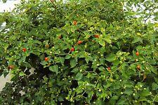 Chiltepin Birds Eye Bird Pepper Wild Chili Heirloom Premium 50 Seeds VERY HOT