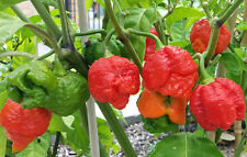 Trinidad Moruga Scorpion - World's 2nd Hottest Chilli Pepper - 10 Seeds