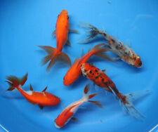 Live 6 pack of 3-4 inch Fantail Goldfish for fish tank, koi pond aquarium