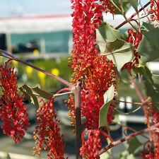 Holly Leaf Grevillea (Grevillea wickhamii) 15 Seeds
