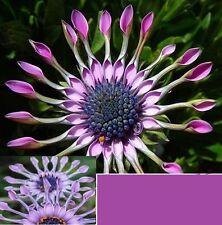 25x Lila / Blau Daisy Hardy exotisch Samen Blumensamen Pflanze Garten Blume #99