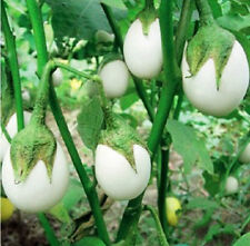 White Eggplant Seeds 1 Pack 30 Seeds Solanum Vegetable Potted Garden Seeds B050