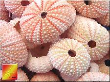 15 Pink Sea Urchin Seashells Shells Beach Wedding Craft Nautical Decor Airplant.