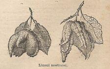 A0297 Limoni mostruosi - Stampa Antica del 1907 - Xilografia
