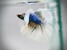 "Live Betta Fish - Male - ""Blue Wave BigEar""Dumbo Halfmoon (High-Grade) (AJ110)"