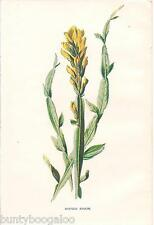Botanical Print Vintage, F Edward Hulme, Lithograph, Winged Broom, c1890