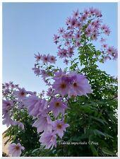Dahlia imperialis - imperial - géant - 1 plant -